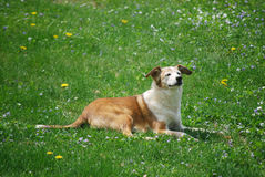 Enjoying a Sunny Day. Mixed breed dog lies in the grass enjoying a sunny summer day Royalty Free Stock Photo