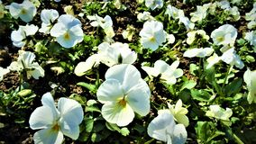 Gorgeous white violets in the garden royalty free stock photography