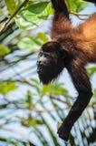 Enjoyng divertente della scimmia un pasto Fotografia Stock