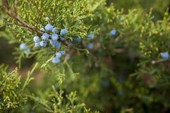 EnJuniperusfrukter p? busken royaltyfria bilder