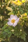 Enkel anemonblomma Arkivfoto