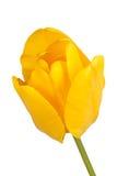 Enkel blomma av en gul tulpan Royaltyfri Fotografi