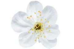 Enkel blomma av körsbäret. Isolerat på vit bakgrund. Royaltyfria Bilder