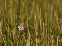 Enkel blomma bland våtmarkgräs Fotografering för Bildbyråer