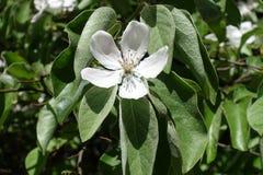 Enkel blomma för Closeup av Cydoniaoblongaen Royaltyfri Fotografi