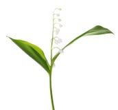 Enkel blomma för liljekonvalj som isoleras på vit Fotografering för Bildbyråer