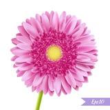 Enkel blomma för rosa gerbera Arkivfoto