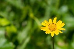 Enkel blomma för Sphagneticola trilobata Royaltyfri Fotografi