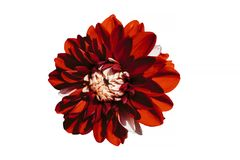 Enkel blommakrysantemum med röda och vita kronblad som isoleras Arkivfoto