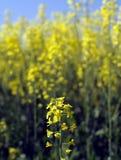 enkel blommarapeseed arkivfoton