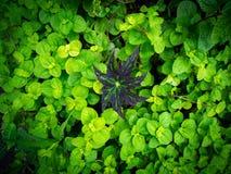 Enkel brunt Begonia Leaf Surrounded vid gröna sidor arkivfoton