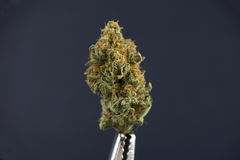 Enkel cannabisknopp & x28; mangopuffstrain& x29; på mörk backgro royaltyfri fotografi