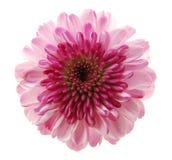 enkel chrysanthemumblomma Royaltyfri Fotografi