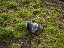 Enkel duva på ett gräs royaltyfria foton