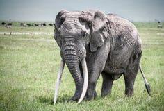Enkel elefant i Afrika Arkivbilder