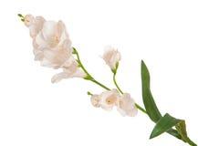 Enkel filialblomning-växt med den vita blomman Arkivfoton