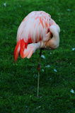 enkel flamingo Royaltyfria Bilder