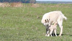 Enkel geboren weinig geit stock footage