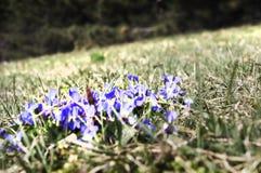 Enkel gekweekte de lenteviooltjes royalty-vrije stock afbeelding