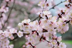 enkel Geregend Bloeiende fruitbomen in de lente royalty-vrije stock afbeeldingen
