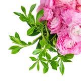 enkel Geregend Roze die ranunculus bloemen op een witte achtergrond worden geïsoleerd Mooi boterbloemenboeket royalty-vrije stock afbeelding