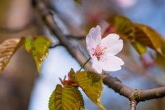 Enkel gräns - rosa sakura blomma på en filial av den japanska körsbäret tr Royaltyfria Foton
