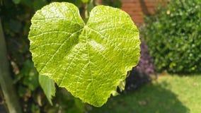 Enkel grön hjärta format vinrankablad royaltyfri foto