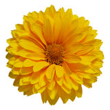 Enkel gul tusensköna Royaltyfri Bild