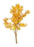 Enkel guld- falltree som isoleras på white Arkivfoto