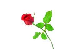 Enkel härlig röd ros som isoleras på vit bakgrund Arkivbild