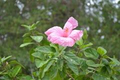 Enkel härlig rosa hibiskus med sidor Royaltyfri Fotografi