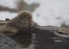 Enkel japansk macaque eller snöapa, Macacafuscata som sitter i varm vår, med reflexion i vatten som ser högert Joshin royaltyfria foton