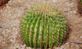 Enkel kaktus i öknen av UAE arkivfoton