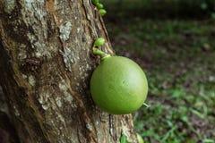 Enkel kalebasskalebass som hänger från trädstammen Arkivbilder