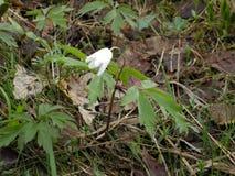 Enkel klocka för vit blomma arkivbilder