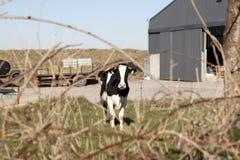 Enkel ko framme av lantgården Royaltyfria Bilder