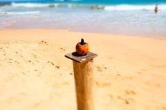 Enkel kokosnöt i stranden, Sri Lanka, Asien fotografering för bildbyråer