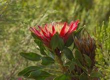 Enkel konung Protea, Proteacynaroides Royaltyfri Fotografi