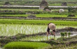 Enkel kvinna som planterar ris i risfält. Arkivfoton