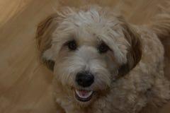 Enkel kvinnlig gullig hundTibet terrier fotografering för bildbyråer