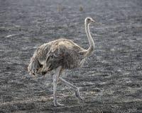 Enkel kvinnlig struts som går i gräs Arkivfoto