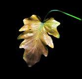 enkel leafoak Royaltyfri Bild