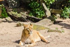 Enkel lejoninna på sand Fotografering för Bildbyråer
