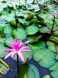 Enkel lilja efter regnet Arkivfoton