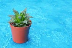 Enkel liten grön suckulent i brun blomkruka med kopieringsutrymme royaltyfri foto