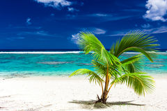 Enkel liten palmträd på en Rarotonga strand, kock Islands Arkivbild