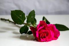 Enkel ljus rosa färgros Royaltyfri Fotografi