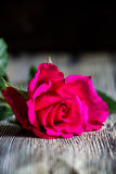 Enkel ljus rosa färgros Arkivbild