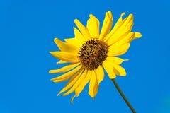 Enkel ljus vibrerande gul solrosblomninguppsättning mot blå himmel arkivbilder