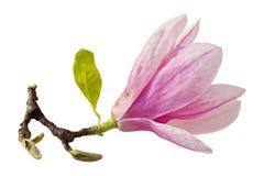 enkel magnolia Royaltyfri Bild